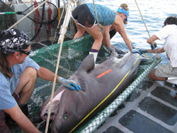 Prior to tagging and release, FSU graduate student Cheston Peterson and FSUCML faculty member, Dr. Dean Grubbs measure a large bluntnose sixgill shark (Hexanchus griseus) while UNF graduate students Arianne Leary and Amanda brown collect blood for toxicological analyses.