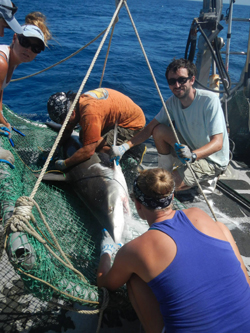 Group taking samples from a bignose shark (Carcharhinus altimus) for research before the shark was released