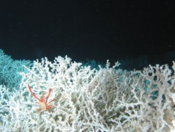 Lophelia colony with the squat lobster