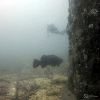 "Figure 3. Last year, FSU divers took the plunge into the Gulf of Mexico at the Air Force navigational Tower N7, known locally as ""K-Tower"" where they observed goliath grouper (Epinephelus itajara."