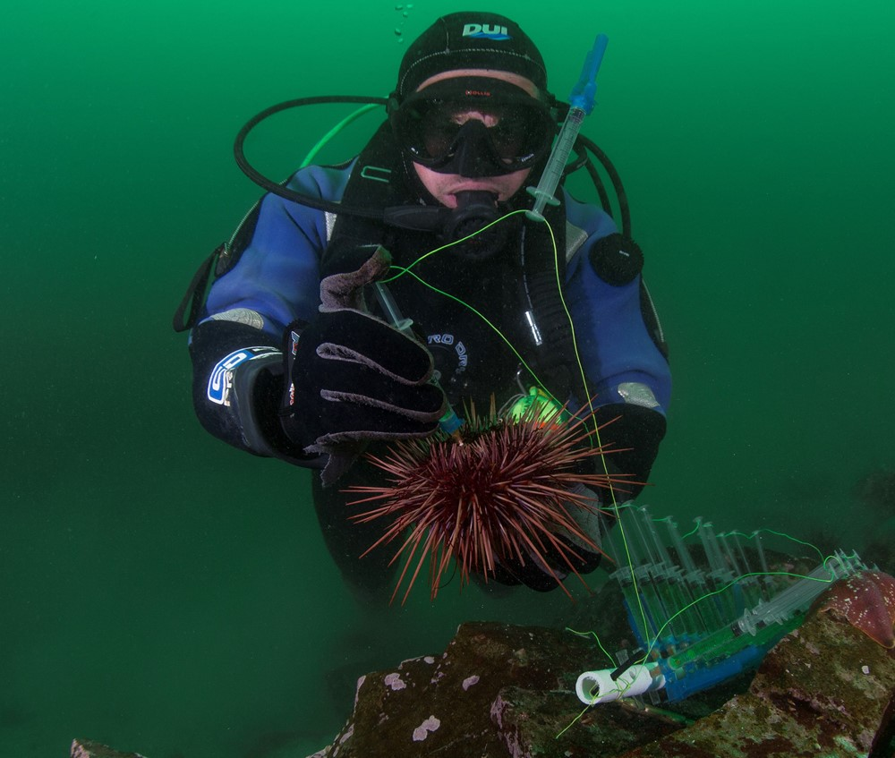 Spindel_Sea Urchin